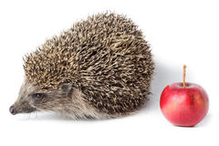Erinaceus europaeus, western European Hedgehog. Stock Photos