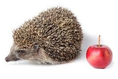 Erinaceus europaeus, western European Hedgehog. Stock Photos