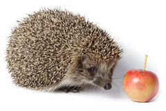 Erinaceus europaeus, western European Hedgehog. Stock Photo