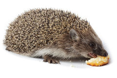 Erinaceus europaeus, western European Hedgehog. Stock Images