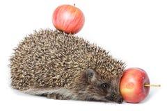 Erinaceus europaeus, western European Hedgehog. Royalty Free Stock Photo