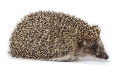 Erinaceus europaeus, western European Hedgehog. Royalty Free Stock Photos