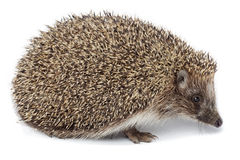 Erinaceus europaeus, western European Hedgehog. Stock Photography