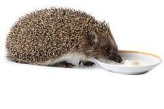 Erinaceus europaeus, western European Hedgehog. Royalty Free Stock Image