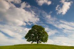 Erinnerungsahornbaum auf dem mystischen Platz in Votice Stockfoto