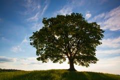Erinnerungsahornbaum auf dem mystischen Platz in Votice Stockfotografie