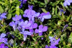 Erinus aemula, fan kwiat Zdjęcia Royalty Free