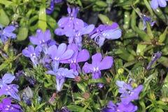 Erinus aemula, fan kwiat Zdjęcie Royalty Free