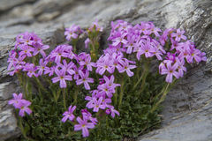 Erinus alpinus Royalty Free Stock Photography