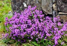 Erinus alpinus Royalty Free Stock Images