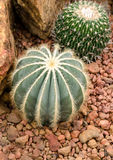Eriocactus magnificus in greenhouse of desert plants Royalty Free Stock Photography