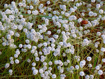 Eriocaulon henryanum ruhle. Grass meadow pampas sward wildflowers White Flower royalty free stock photo