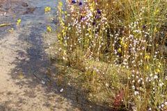 Eriocaulon smitinandii Mold.flower (ERIOCAULACEAE) Blüte waterfr Stockfotografie