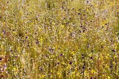 Eriocaulon smitinandii Mold.flower (ERIOCAULACEAE) unter Gelb Lizenzfreies Stockfoto