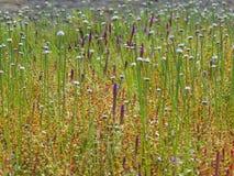 Eriocaulonaquaticum och Pogostemondeccanensis - flowerscape fotografering för bildbyråer