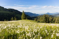 Erioforo della palude nelle alpi tedesche Allgaeu Immagine Stock