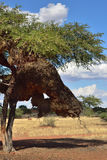 Erioloba Vachellia или дерево в пустыне Kalahari, n camelthorns Стоковое фото RF