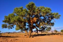 Erioloba Vachellia, Намибия Стоковое Изображение RF