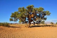 Erioloba Vachellia, Намибия Стоковое Фото