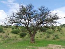 Erioloba van de acacia - de doorn van de Kameel stock afbeeldingen