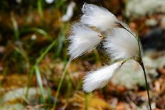 Eriophorum angustifolium blowing in the wind in Finland nature. royalty free stock images