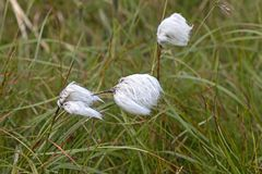 Eriophorum, cottongrass, in the northern tundra Royalty Free Stock Photo