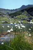 Eriophorum vaginatum. Cottongrass on lakes area Stock Photo