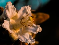 Eriotheca Gracilipes eriothecapubescens blommar på soluppgång i cerradoskogen i Brasilien arkivbild