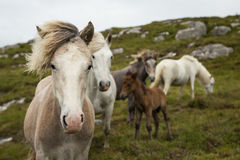 Eriskay Ponies. A group of hardy Eriskay ponies on the isle of Eriskay in the Uists on the Outer Hebrides, Scotland Stock Photography