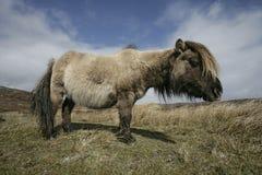 Eriskay ponny Arkivfoton