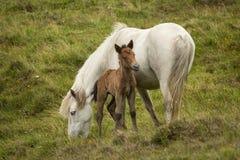 Eriskay ponny och föl Royaltyfria Bilder