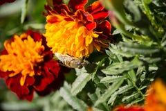 Eristalinus taeniops na nagietka kwiacie obrazy stock