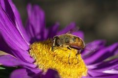 Eristalis en una flor Foto de archivo libre de regalías