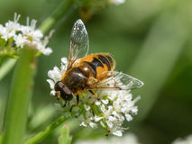 Eristalis horticola hoverfly or dronefly Stock Photo