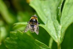 Eristalis hoverfly na liściu w świetle słonecznym zdjęcia stock