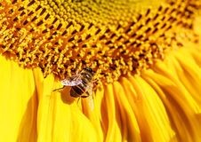 Eristalis and sunflower on a field Royalty Free Stock Image