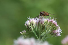 Eristalis tenax, также известный как муха трутня, на пеньк-agrimony Стоковая Фотография RF