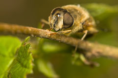 Eristalis tenax Royalty Free Stock Photo