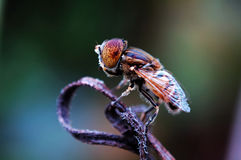 Eristalis tenax Royalty Free Stock Images