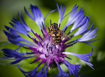 Eristalis tenax on  flower centaurea cyanus Royalty Free Stock Image