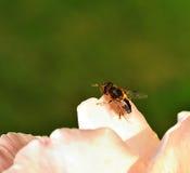 Eristalis tenax - mosca de la libración Imágenes de archivo libres de regalías