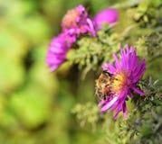 Eristalis tenax - mosca de la libración Foto de archivo libre de regalías