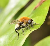 Eristalis tenax. Resting on a leaf Royalty Free Stock Images