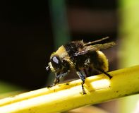 Eristalis tenax. Resting on a stem Royalty Free Stock Images