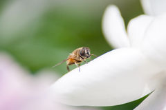 Eristalis tenax. Stays on the flower Stock Image