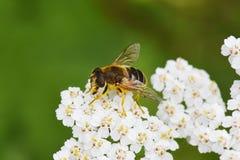 Eristalistenax dronefly bruine bestuiver royalty-vrije stock afbeelding