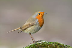 Erithacus rubecula Royalty Free Stock Images