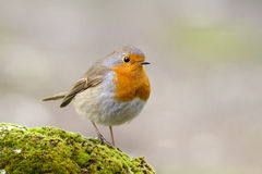 Erithacus rubecula. Perched on a rock with moss Stock Images