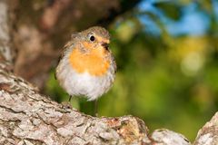 Erithacus rubecula Stock Photo