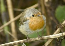 Erithacus rubecula Stock Images